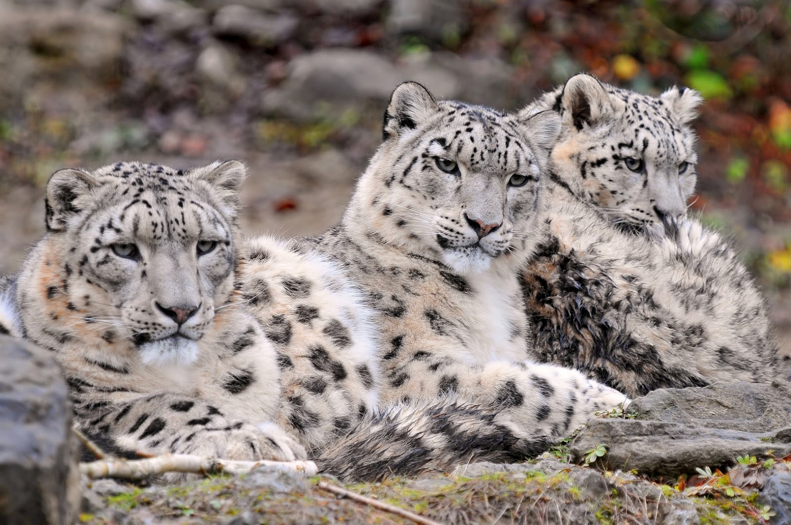 the snow leopard The strikingly beautiful snow leopard remains one of the most mysterious cats in the world.