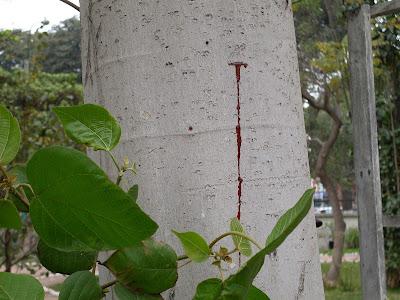 sangre de grado - Croton lechleri