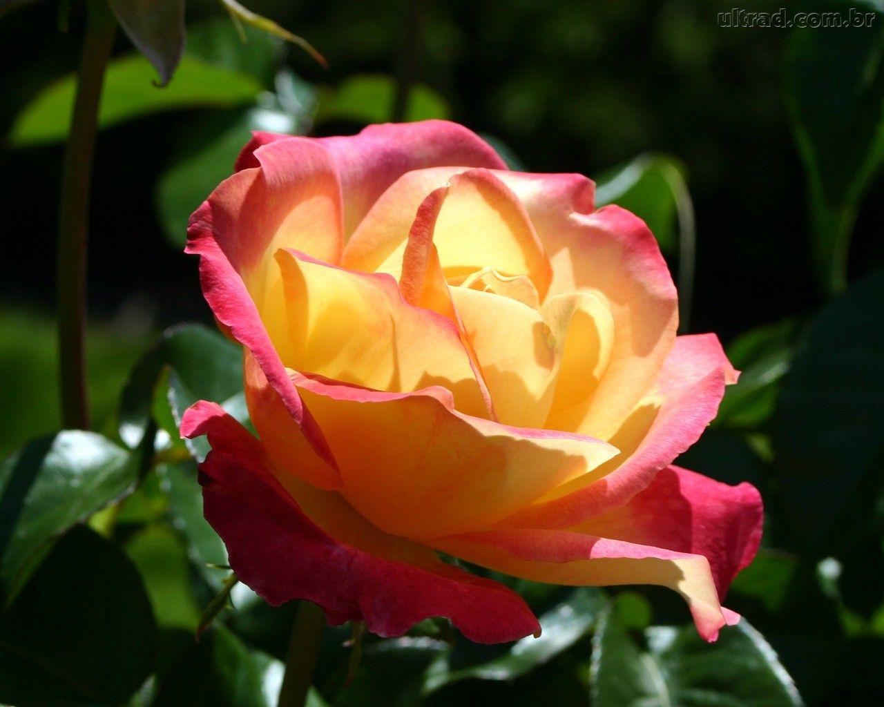 jardim rosas amarelas : jardim rosas amarelas:sexta-feira, 24 de maio de 2013