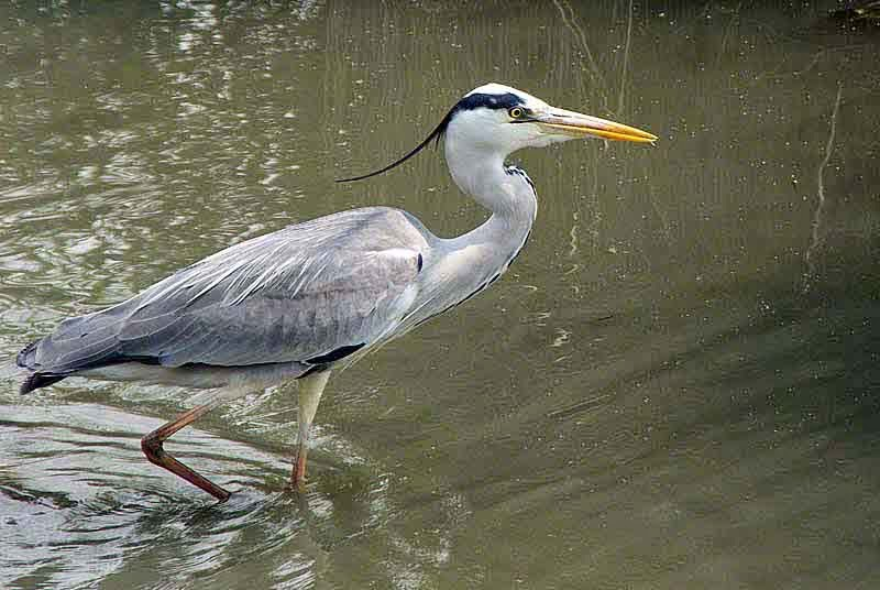 Grey Heron stalking fish