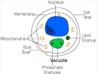 DIAGRAM OF YEAST CELL