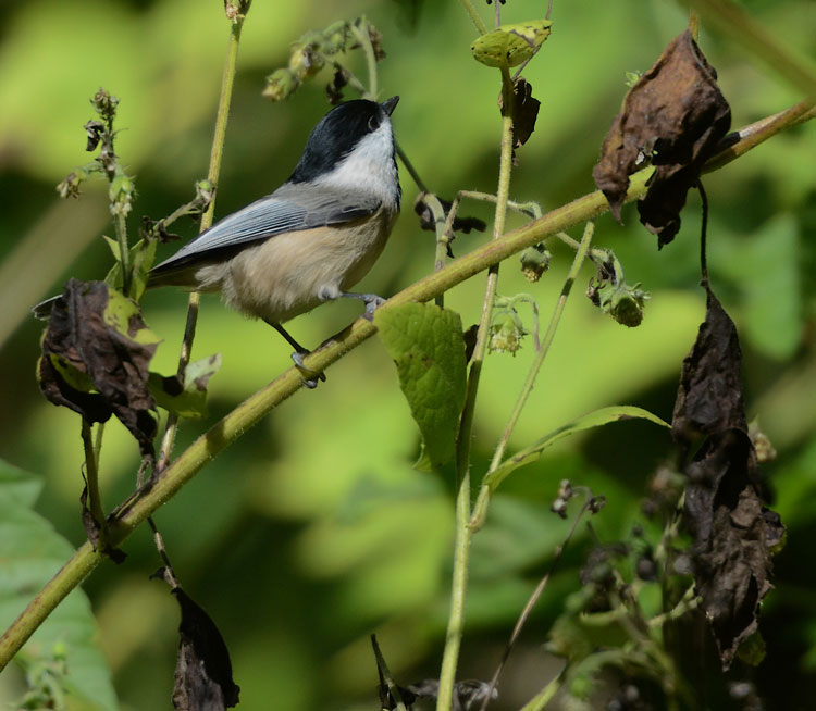 Chickadees work hard in autumn to gather and store seeds and nuts for winter food caches to help them survive the long, cold winter.