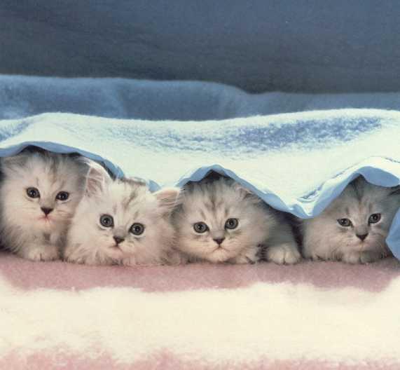 المعلومات الكاملة عن القطط