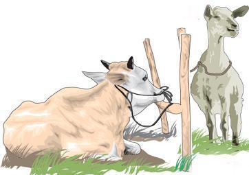 Harga Kambing Domba Sapi Hewan Qurban 2015