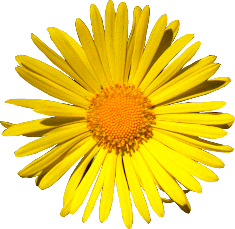 Yellow Daisy Png ForgetMeNot: colored d...