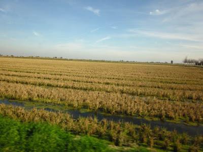 Ricefields in El Delta del Ebre