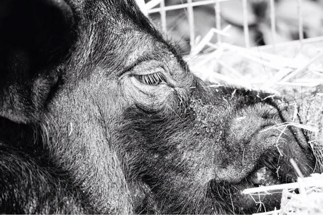 Pig public domain picture