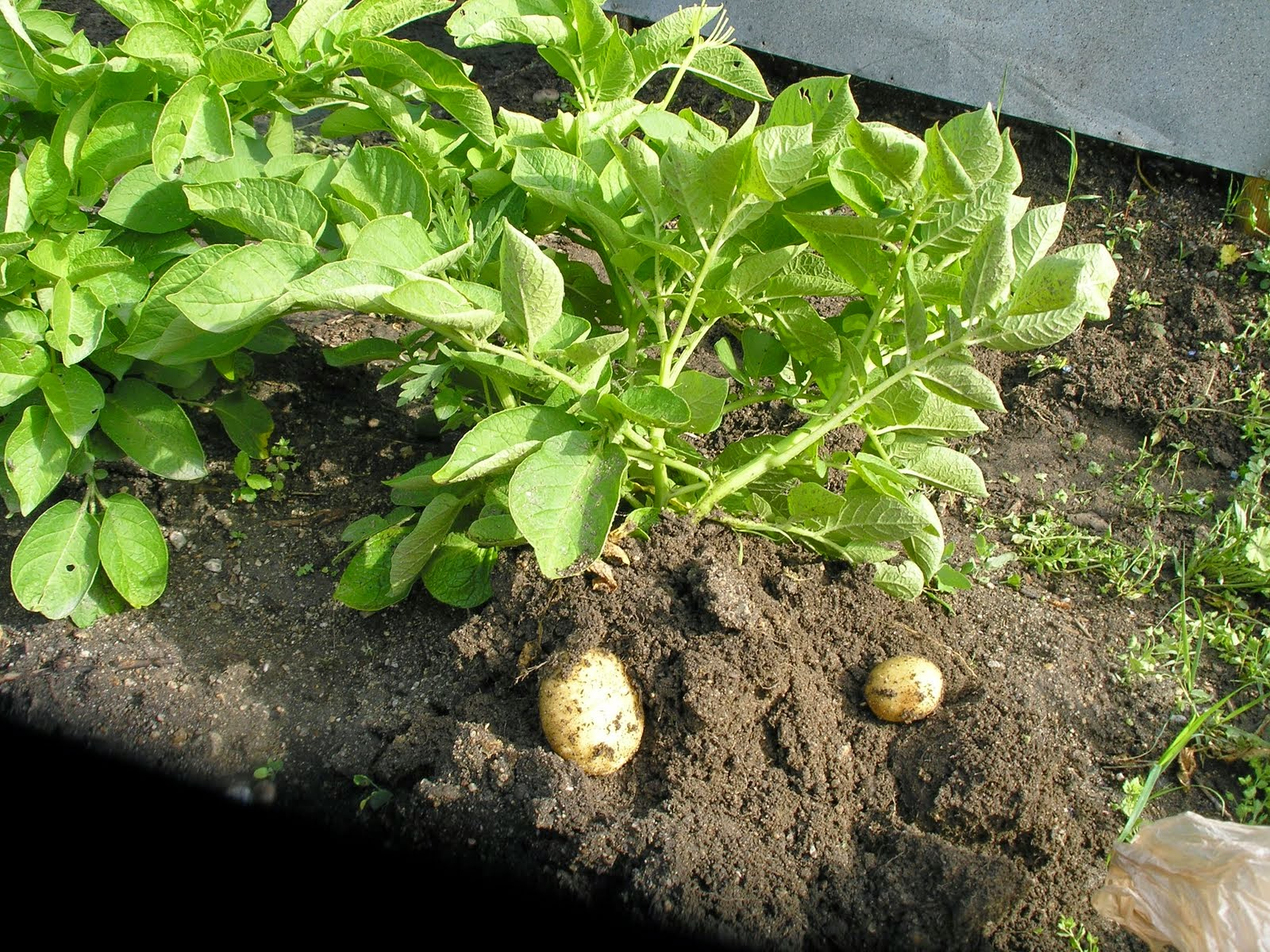 6 Steps to grow Potatoes better