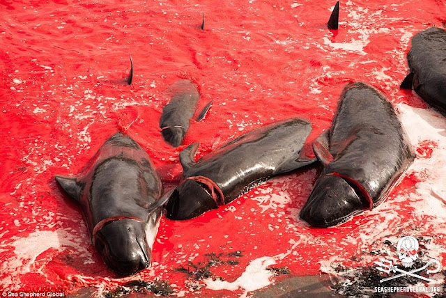 The Faroe Islands' Whale Slaughter!