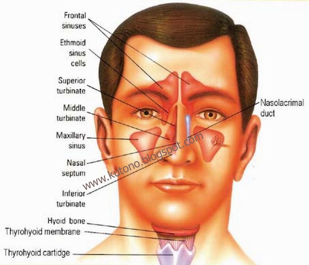 Obat Herbal Penyakit Sinusitis