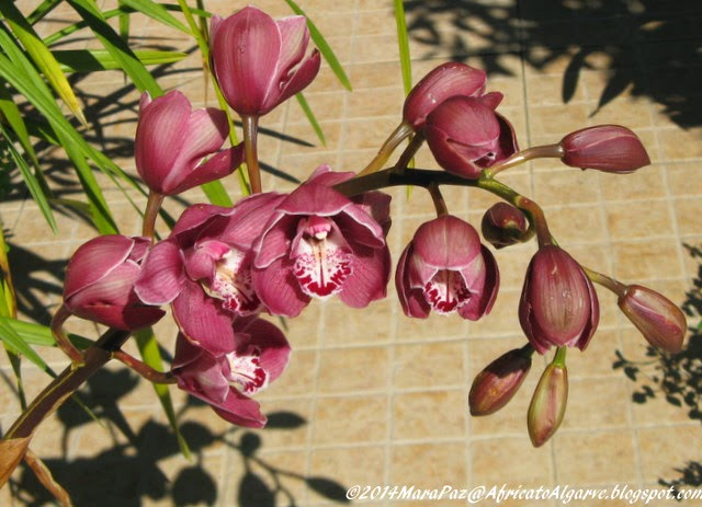 Wine-coloured orchid