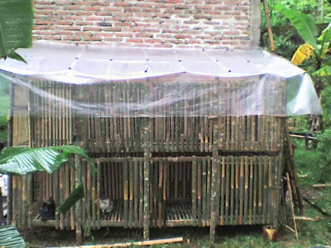 Jual Tas Ayam Jago | Ayam Aduan Ayam Sabung Ayam Laga Ayam Bangkok
