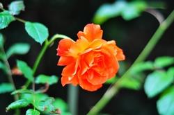 Eine Sommerrose...