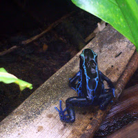 Blue Frog of Suriname