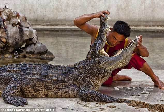 Video of A Crocodile Biting A Man's Head in Thailand