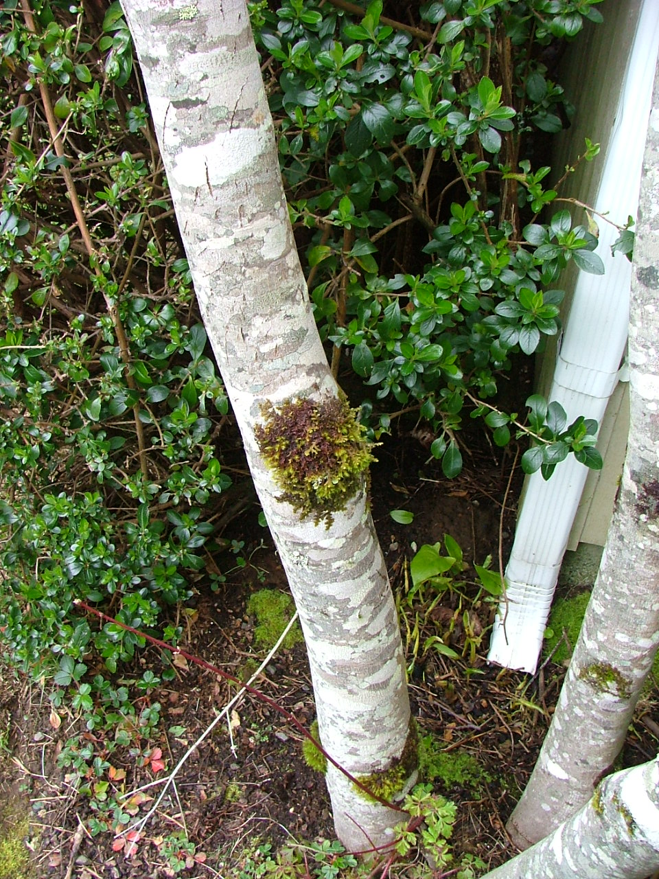 Oregon Coast Gardener: The Venerable Vine Maple