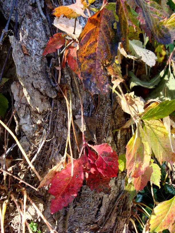 peeling grape vine - pulling bark off spooky tree - fall colors ripping bark photo