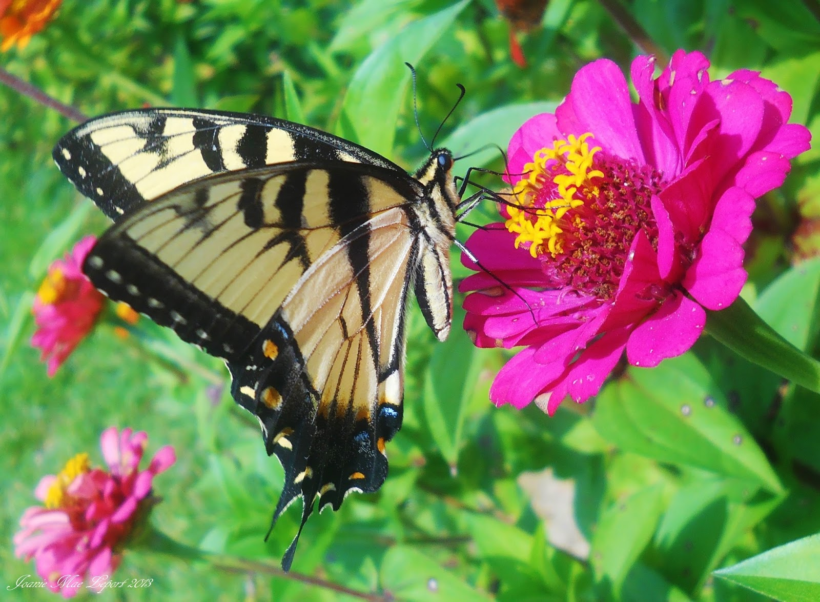 Nature Landscapes and more : Yellow Tiger Swallowtail Butterfly
