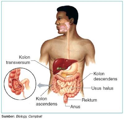 Usus besar dan saluran anus