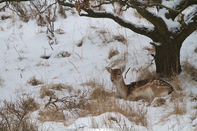 Damhert rust onder eik in de sneeuw