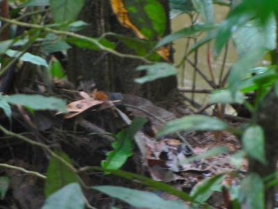sururucu-pico-de-jaca escondida na beira do igarapé. durante o dia elas sao bem mansinhas...