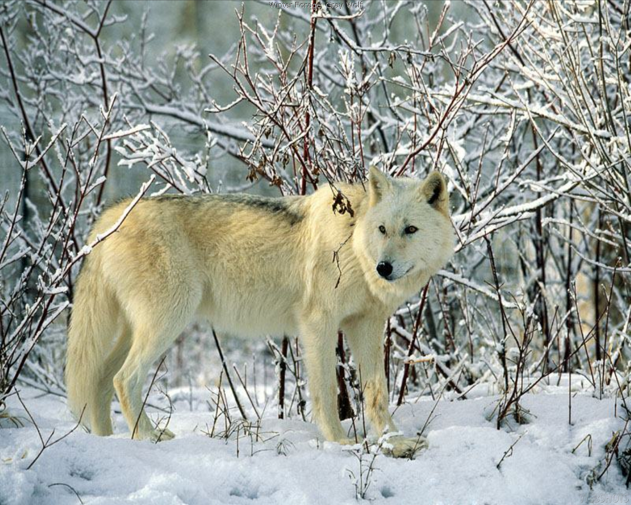 The biggest wolf in the world. Description, habitat and lifestyle of the wolf 37