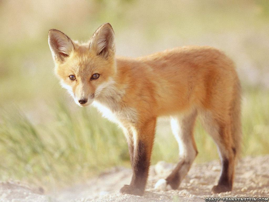 http://2.bp.blogspot.com/-E_Qqxv4a9jQ/TdUJUCY_yJI/AAAAAAAAAFA/XEugrUULl5E/s1600/red-fox-animal-wallpapers-2-1024x768.jpg