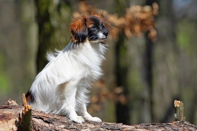 Psy rasy płochacz holenderski
