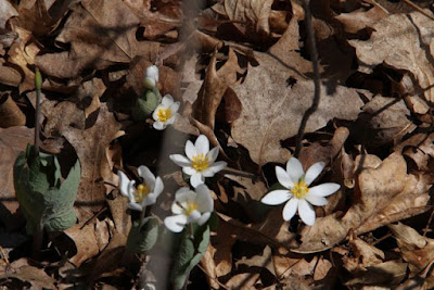 Spring bloodroot, William O'Brien