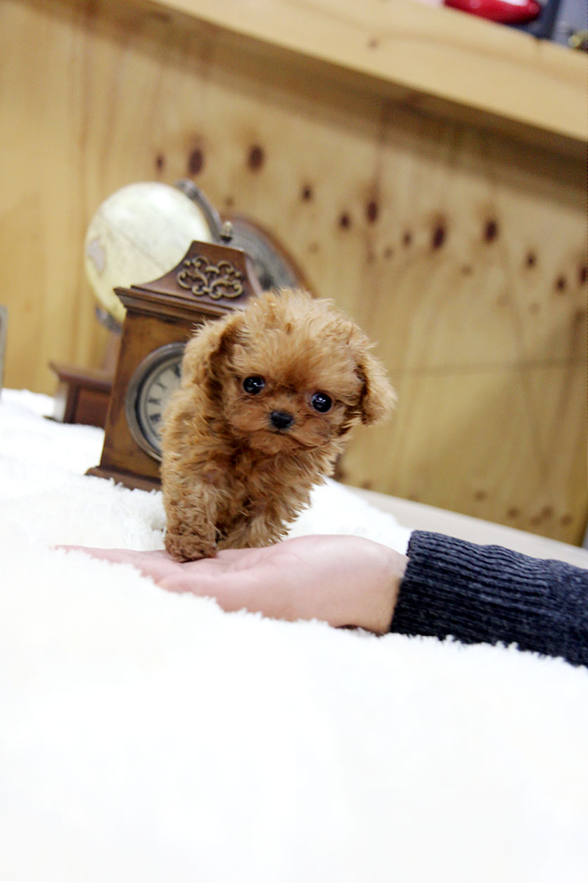 a personal examination of the old teacup poodle Wondering if a poodle is the right dog breed for you or do you already have a poodle and are wondering if your pet's behavior is normal let's take a look at the traits, personality, behavior and temperament of this breed.