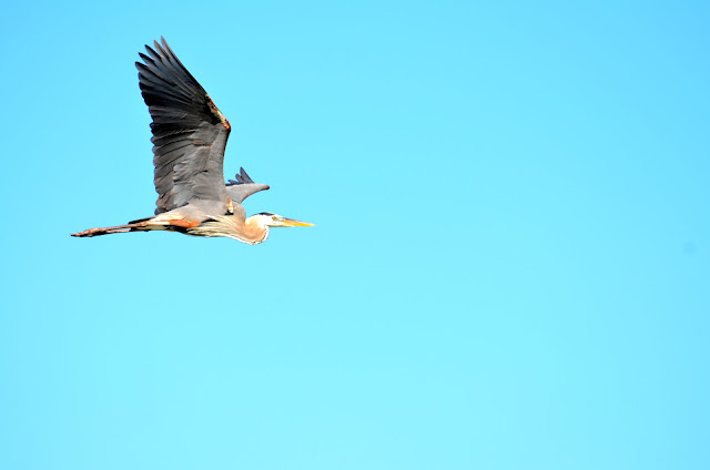 the great blue heron 2 essay The food chain in a pond  2 pond plants algae duckweed elodea cattails  great blue heron tree swallow water snake diving spider  7.