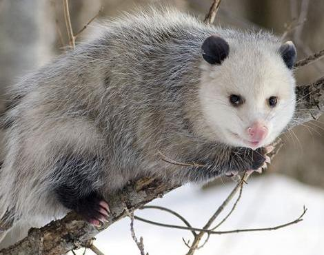 Opossum Bite http://afkra.blogspot.com/2012/04/top-5-mammals-with-odd-defenses.html