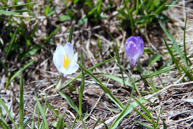 Alpen-Frühlingssafran Villgraten-Tal, Ost-Tirol