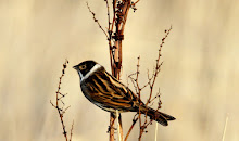 Soil Hill Reed Bunting