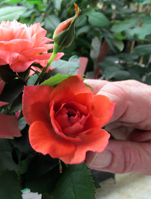 Vermillion rose seedling