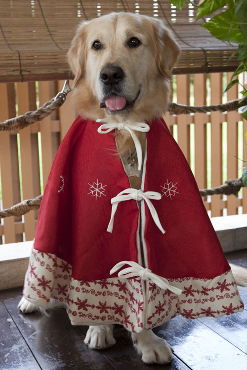 homer the golden retriever homers christmas card photoshoot 2011