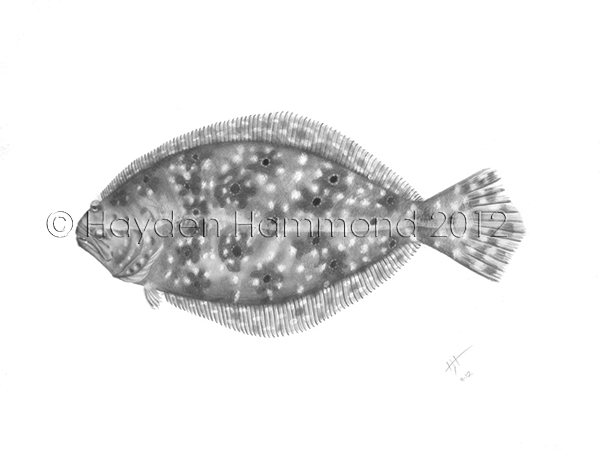 Flounder - Scientific