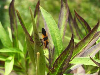 Swamp Milkweed, Asclepias incarnata, propagting milkweed