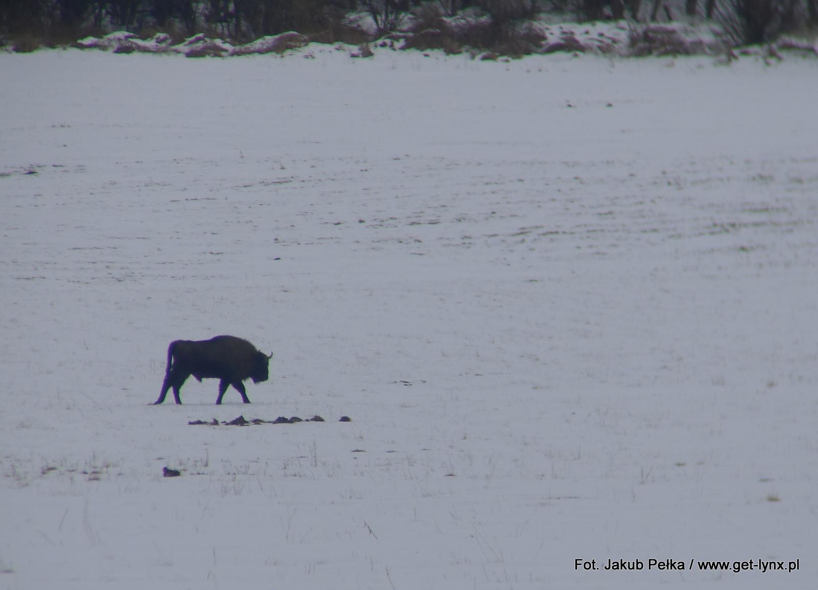 Żubr z zimowych Karpat