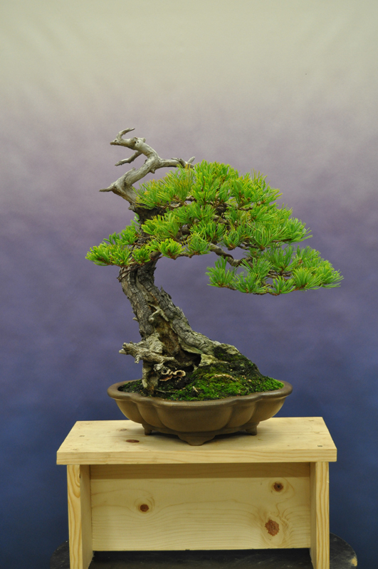 more great bonsai trees big little trees