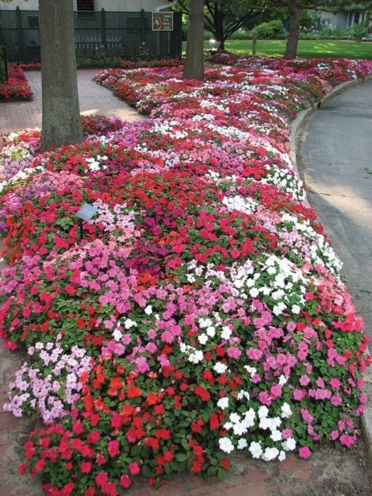 flores jardim ano todo : flores jardim ano todo:Jardim da Terra: COMO CULTIVAR: Impatiens, Beijos ou Maria sem
