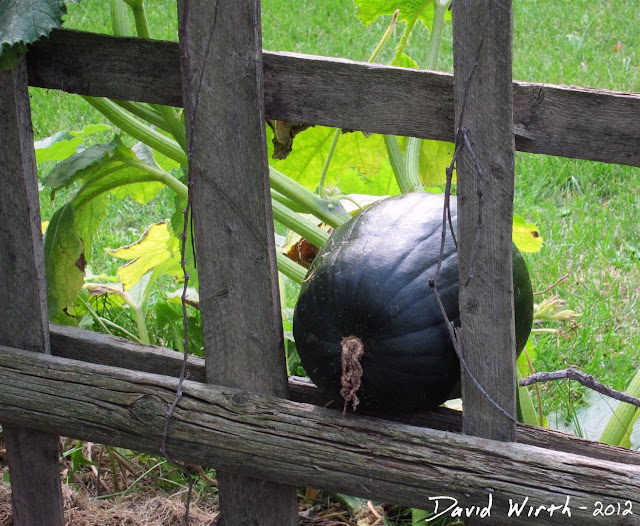 green pumpking growing, pond, fence, roots
