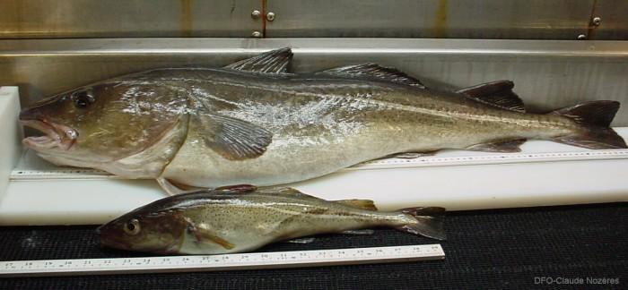 Gallery for atlantic cod fishery for Atlantic cod fish