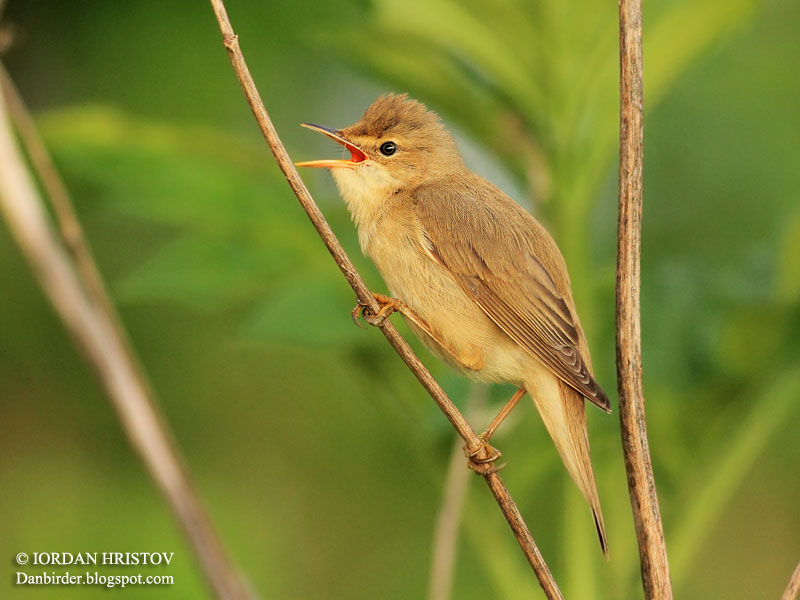 Marsh Warbler photography