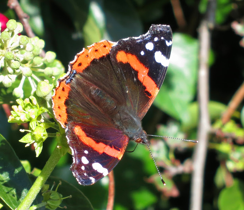 Red Admiral Butterfly - wings open