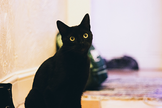 percy the black cat