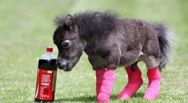 Kuda Poni Prematur Habiskan  Juta Untuk Operasi