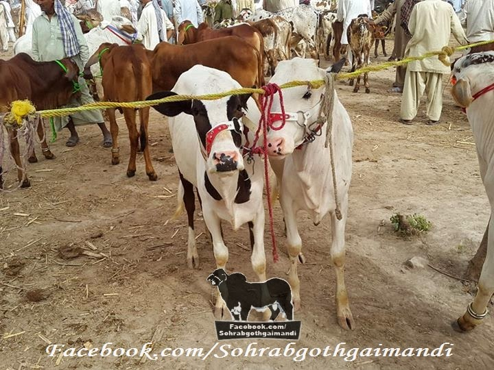 Zahir Pir Chowk Mandi 2014 Cattle market 2014 pics and video update here