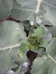 Baby broccoli!