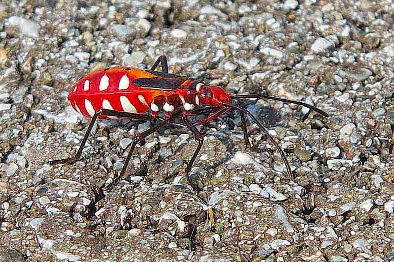 insect, Red Cotton Bug, Dysdercus cingulatus